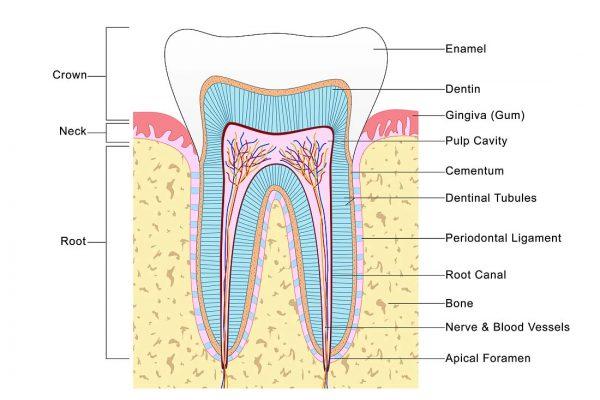 profilaktine-dantu-apziura-02-en